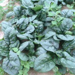 Spinaci 500 gr