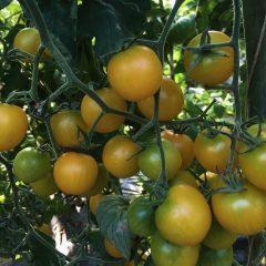Pomodori ciliegini gialli