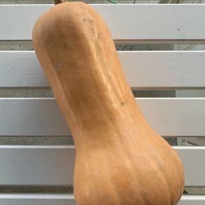 [SPEDIZIONE] Zucca butternut 1,5 kg –